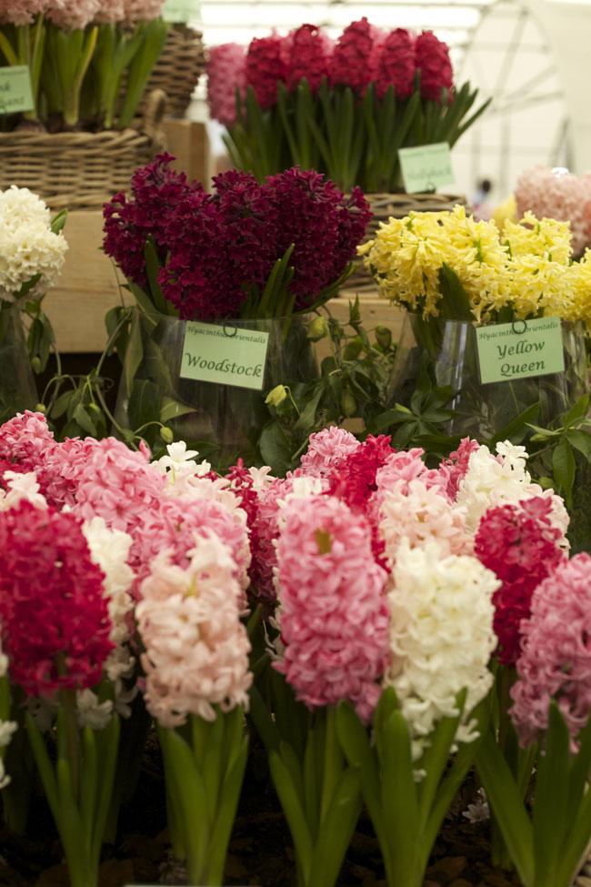 RHS Chelsea Flower Show - Hyacinth