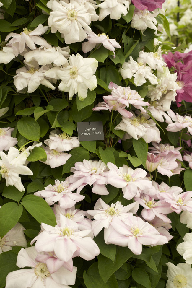 RHS Chelsea Flower Show - 'Innocent Blush' Clematis