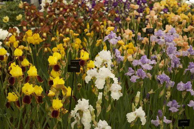 RHS Chelsea Flower Show - Irises