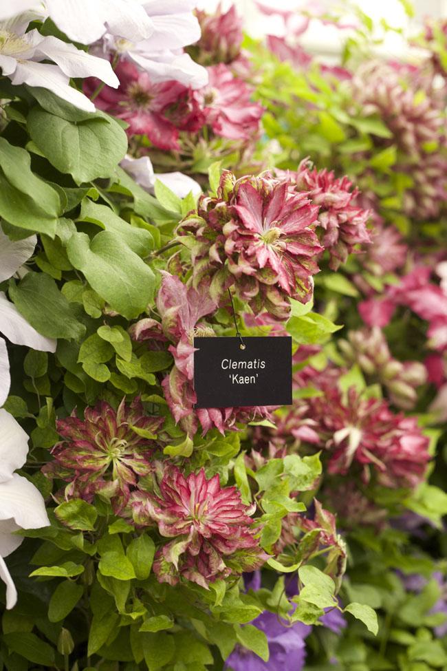 RHS Chelsea Flower Show - 'Kaen' Clematis