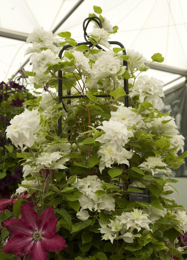 RHS Chelsea Flower Show - 'Maria Sklodowska Curie' Clematis