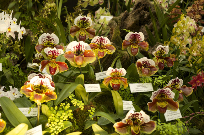 RHS Chelsea Flower Show - Lady Slipper orchids by McBean's