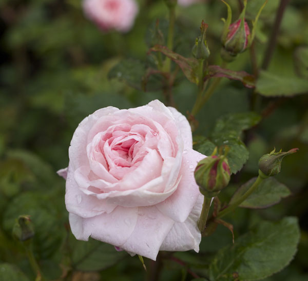 Pale Pink Garden Roses