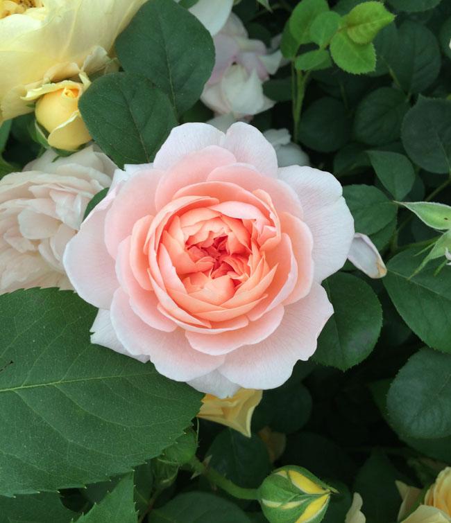 RHS Chelsea Flower Show - Queen of Sweden (Austiger) David Austin Garden Rose