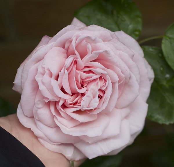 St Swithun Auswith English Old Rose Hybrid