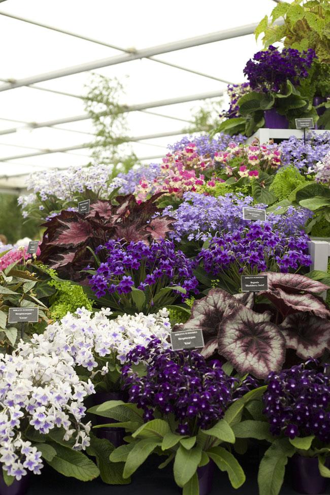 RHS Chelsea Flower Show - Streptocarpus & Begonias