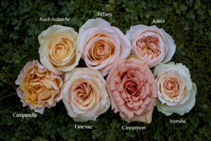 colors of peach roses