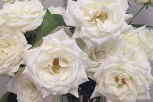 colors of white roses