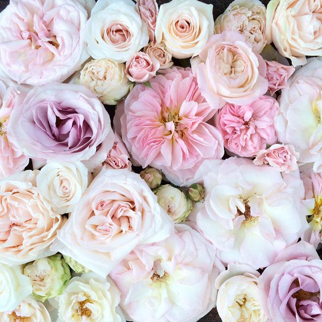 The blush pink rose study flirty fleurs the florist blog flirty fleurs pink rose study mightylinksfo