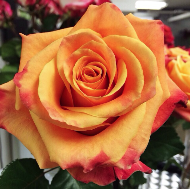 Harvest Roses - A Fox Trot Orange Rose