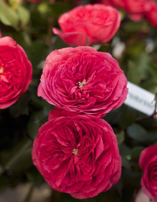 Baronesse Garden Roses