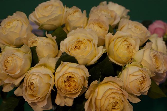 Caramel Antike Garden Roses