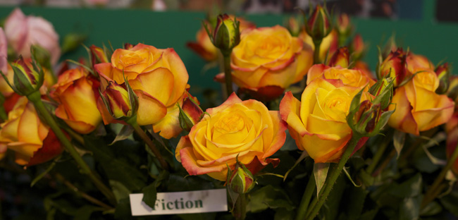 Fiction Garden Roses