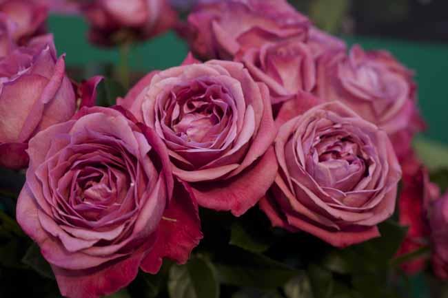 Heirloom Garden Roses
