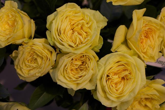 Lemon PomPom Garden Roses