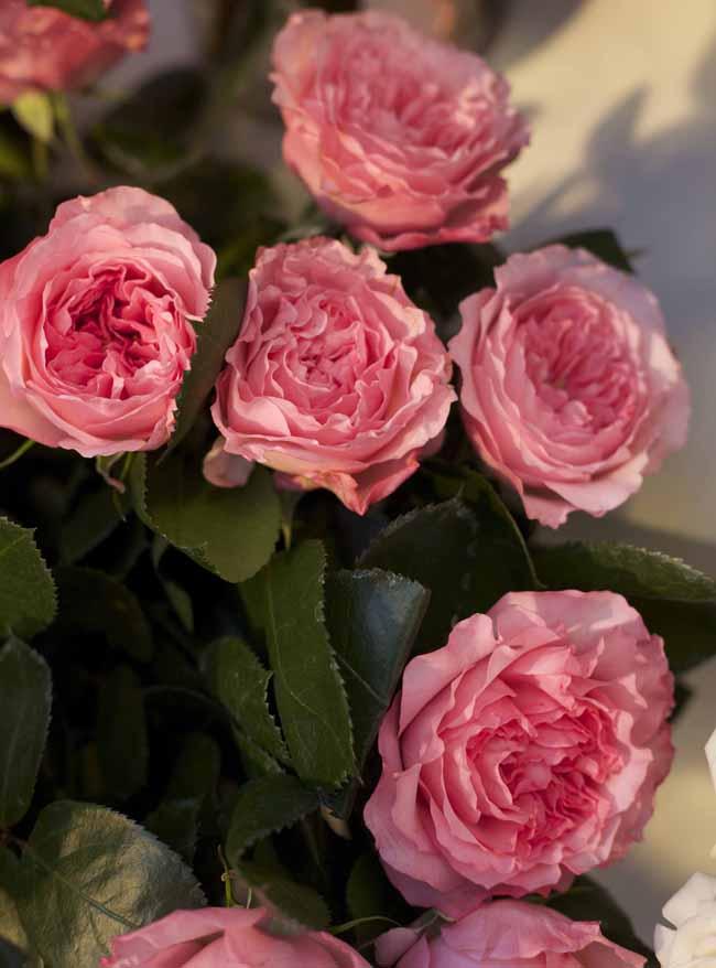 Mayra's Rose Garden Roses