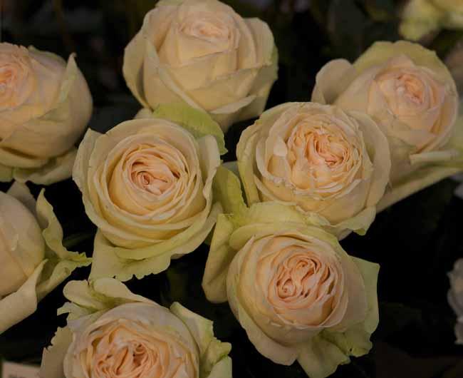 Mythos Garden Roses