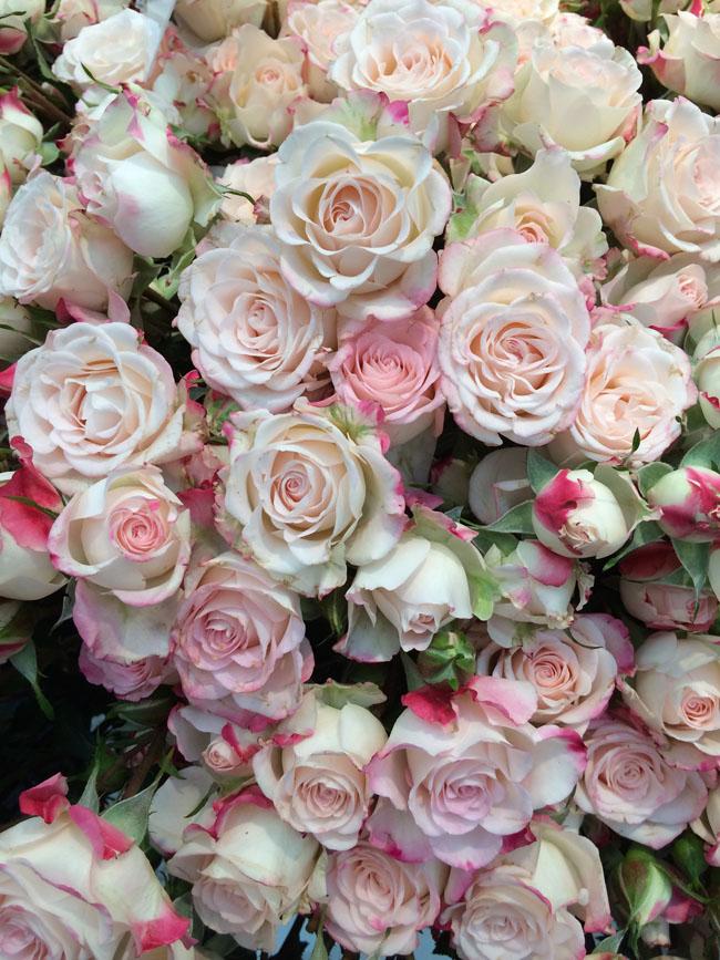 Reflex Spray Roses