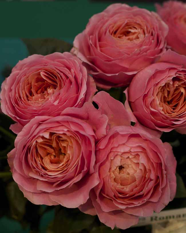 Romantic Antike Garden Rose