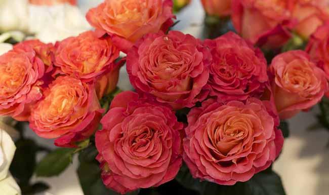 Sunset Garden Roses