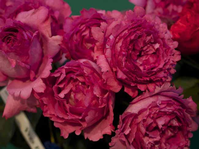 Yves Piaget Garden Roses