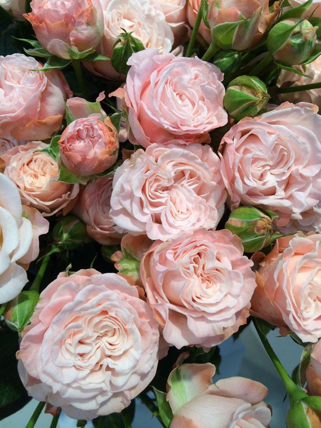 Madame Bombastic Roses