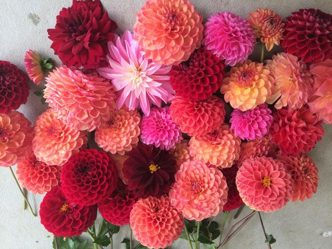 Flirty Fleurs Dahlias