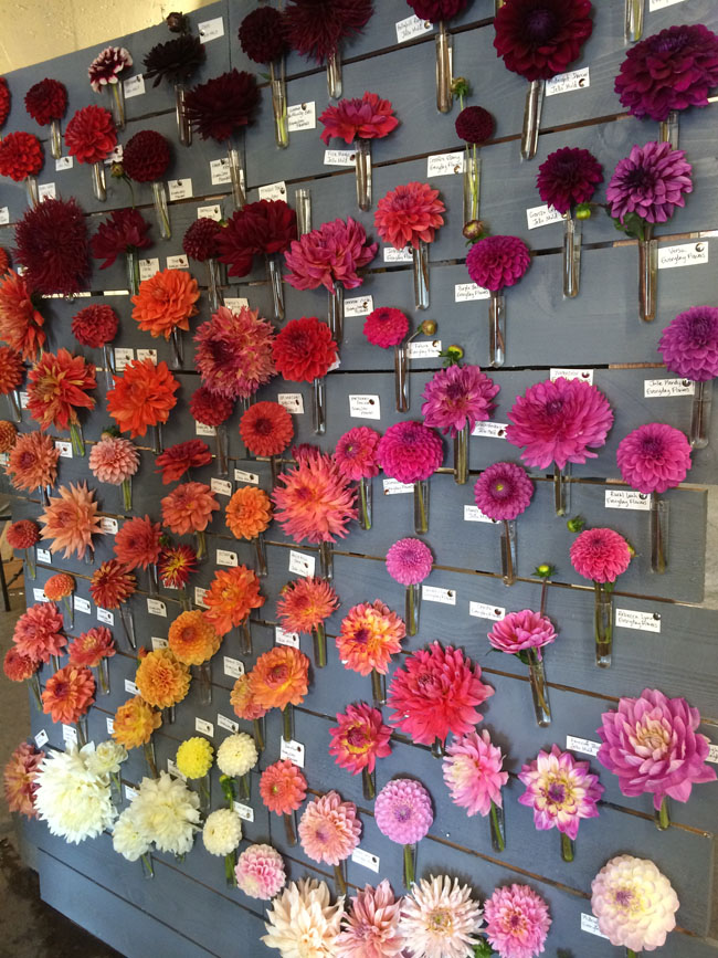 Dahlia Wall at Seattle Wholesale Growers Market