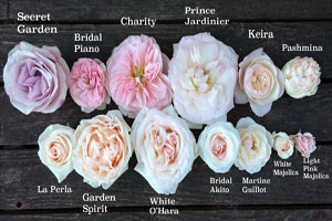 colors of blush pink roses