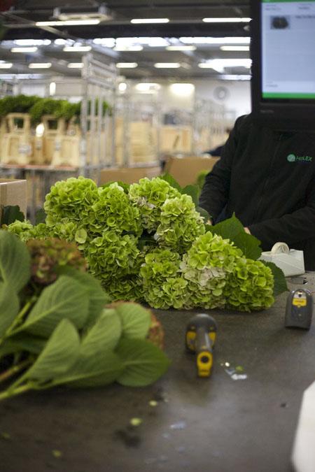 Holex Flower Holland - Green Hydrangeas