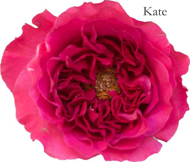 David Austin Garden Rose - Kate