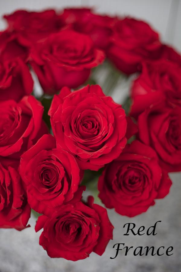 Red France Red Rose