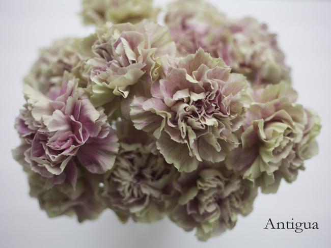 Antigua Carnation