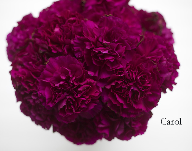 Carol Carnation