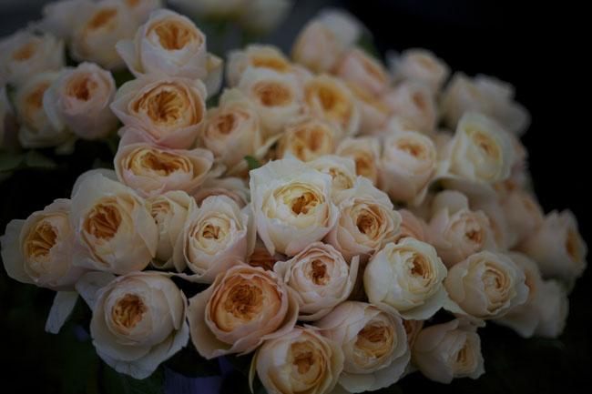 """David Austin """"Juliet"""" Garden Roses grown by Alexandra Farms"""