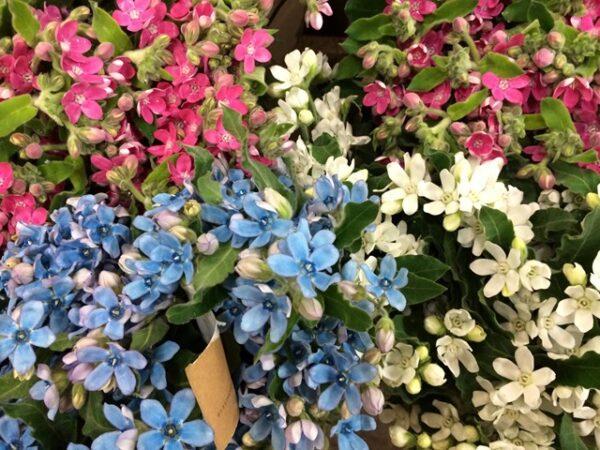 Pink, Blue, and White Tweedia image via Mayesh