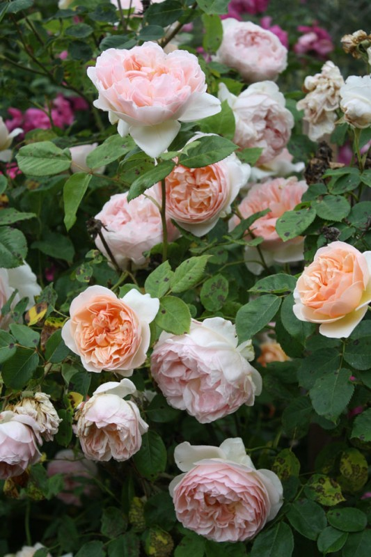 Russian River Rose Company