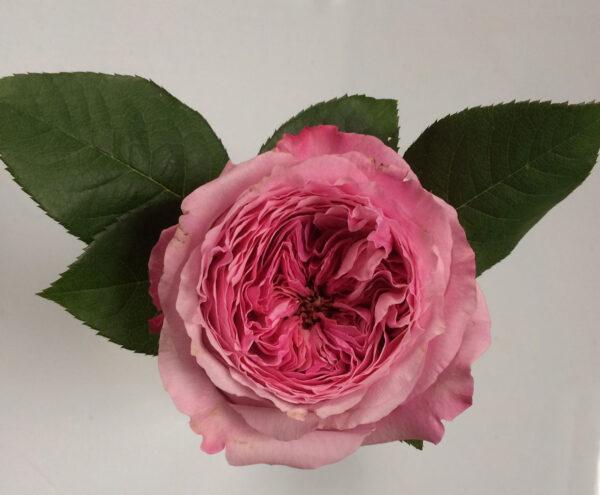 David Austin Garden Roses Flirty