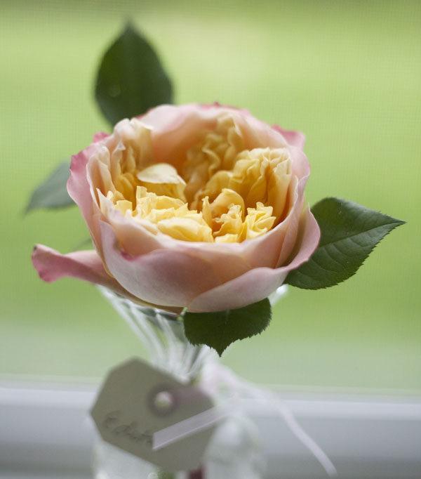 Edith David Austin Garden Rose