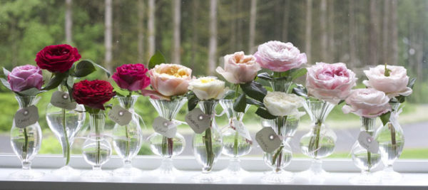 Carey, Darcey, Tess, Kate, Edith, Beatrice, Juliet, Constance, Patience, Miranda, Keira and Charity David Austin Garden Roses
