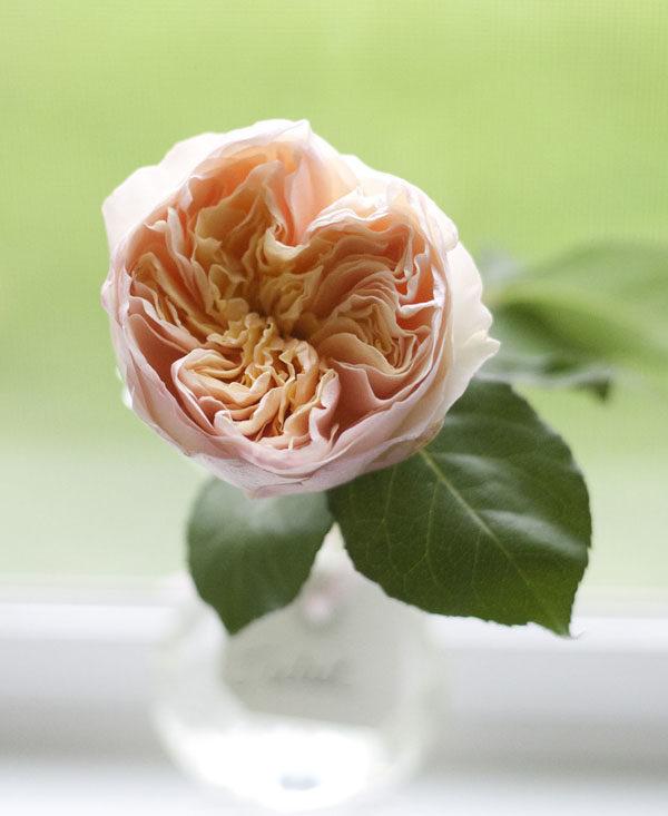 Juliet David Austin Garden Rose