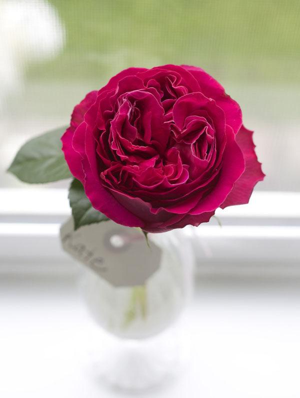 Kate David Austin Garden Rose