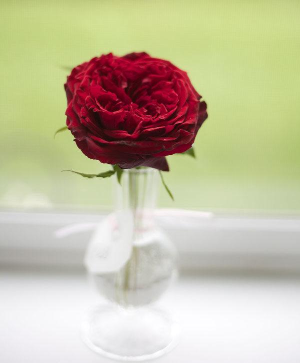 Tess David Austin Garden Rose