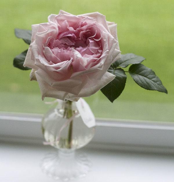 Miranda David Austin Garden Roses
