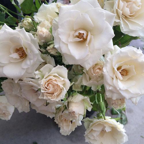 Moonstruck roses from Peterkort