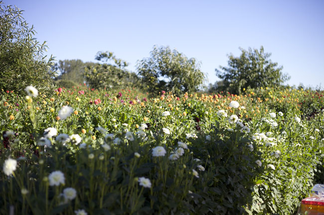 Jello Mold Farm Dahlias