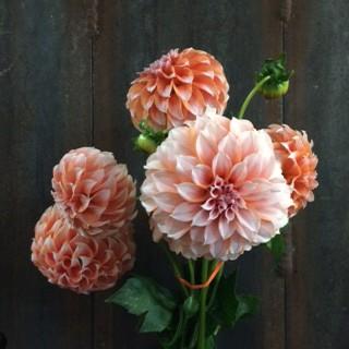 Peaches and Cream Dahlias