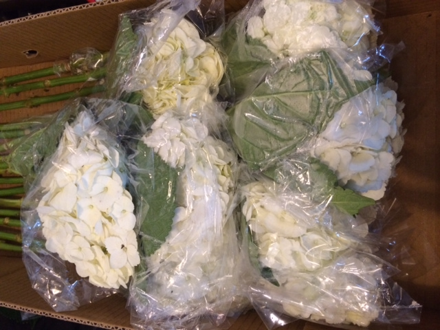Hydrangeas when they arrive for processing