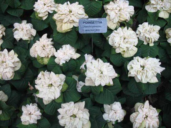 Lauritzen Gardens Poinsettia Show