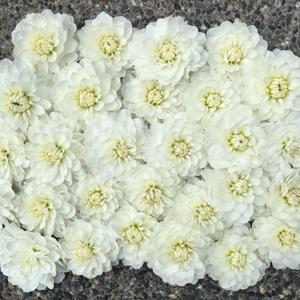 Flirty Fleurs Dahlias - Bride To Be Dahlias - White Dahlia Tubers